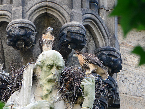 Cathedral Hawk Nestlings (1616)