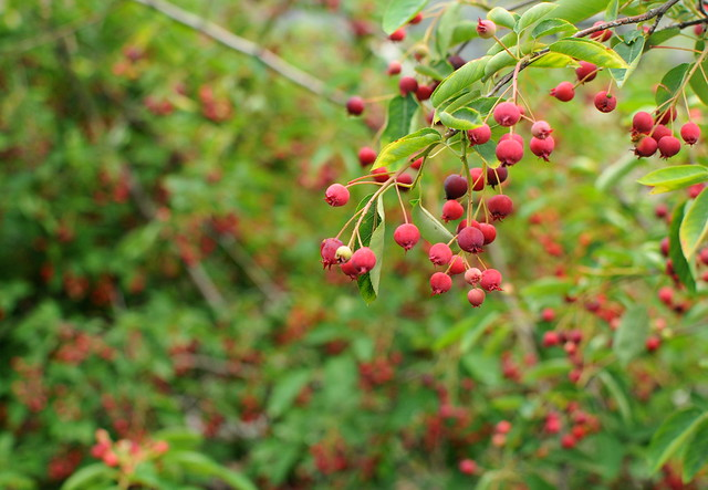 Serviceberries- 12 Perennials to Plant for Free Chicken Food