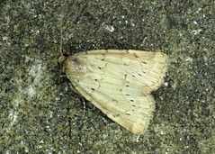 2345 Small Dotted Buff - Photedes minima