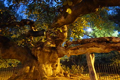 Camperdown Elm