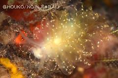キエルケ・エレガンス Cyerce elegans