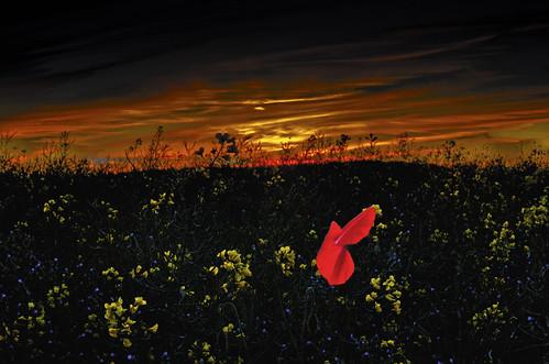 poppy dusk