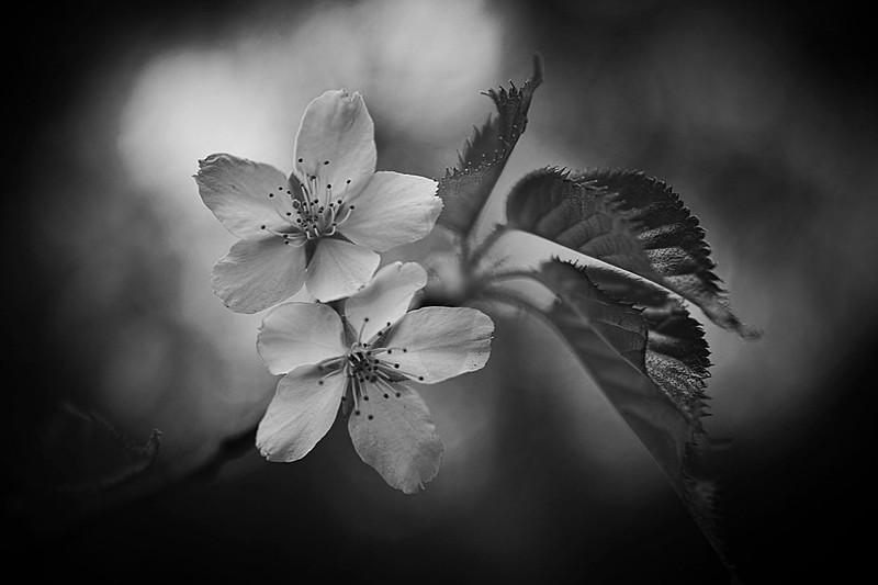 cherry blossom monochrome