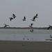 Pelicans - Pelicanos entre San Mateo del Mar y Santa María del Mar, Distrito Tehuantepec, Región Istmo, Oaxaca, Mexico por Lon&Queta