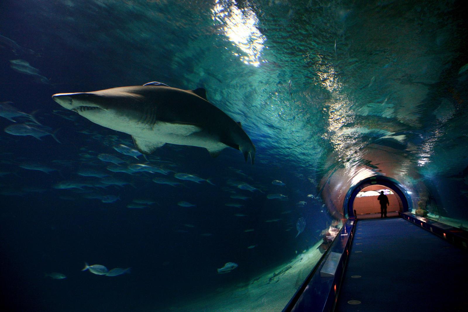 Tunel de Océanos y ejemplar de tiburón. Autor, Ciudad de las Artes y las Ciencias
