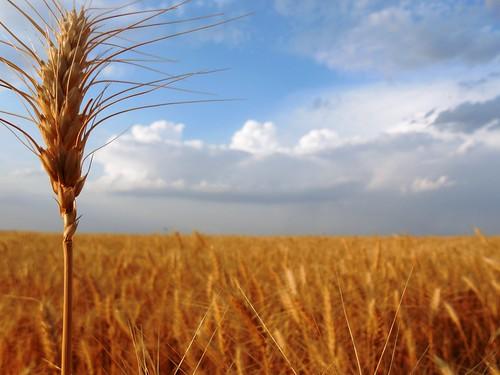 Wheat head and cloud