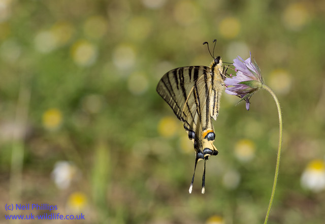 scarce swallowtial butterfly 4