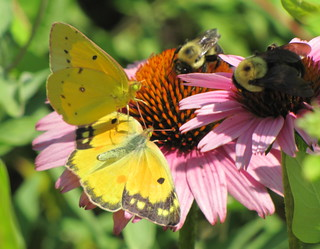 Orange Sulphurs courting & Common Eastern Bumble Bees