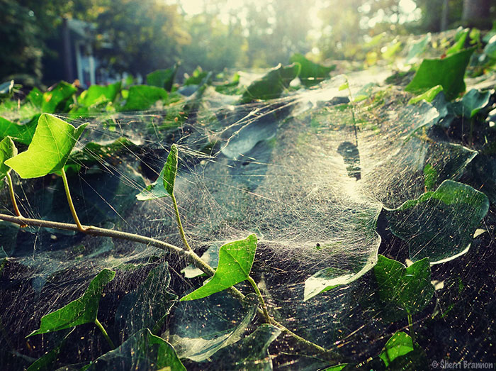 webbed ivy