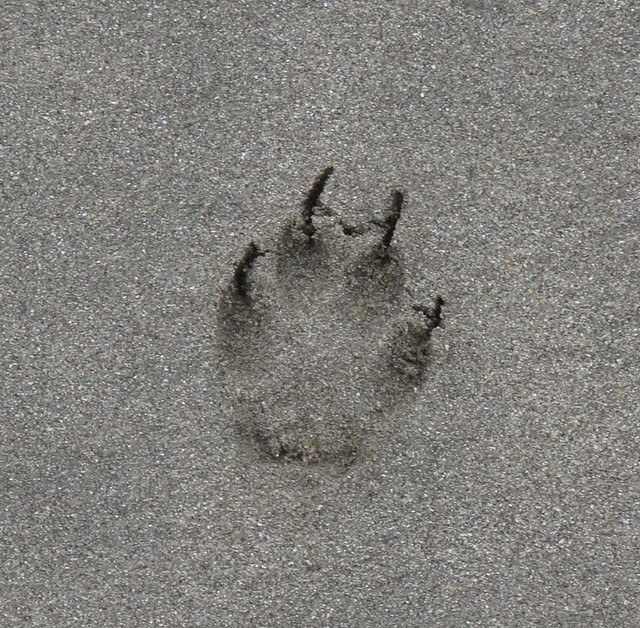 coyote footprint in the sand