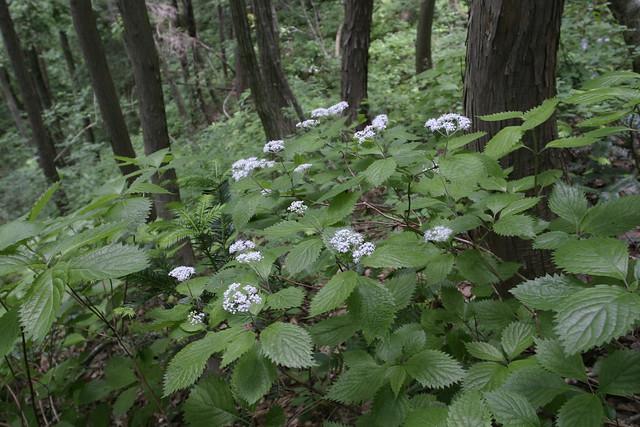 コアジサイの花.この山の個体は,白い花が多かった.