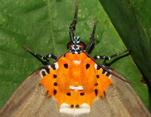 Orange (Owlet) Moth