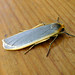 Small photo of Common Footman. Eilema lurideola