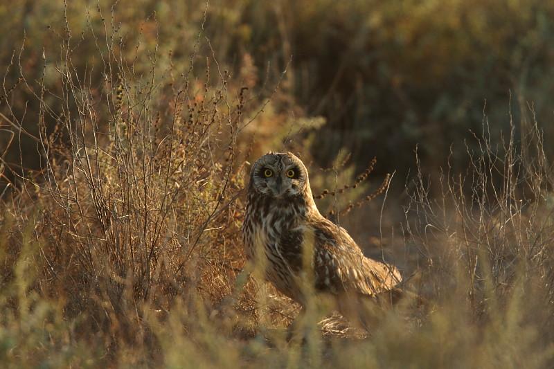 Short Eared Owl, GRK