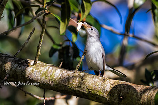 Blue-grey Gnatcatcher displaying its catch