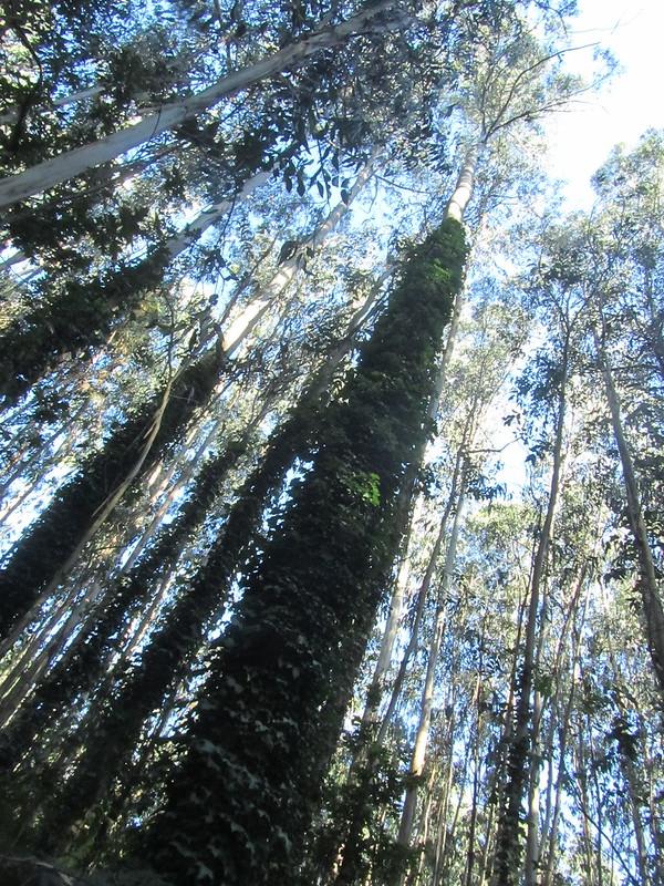 Yo en el Bosque de Eucaliptos