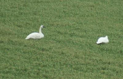 Trumpeter-swans-028
