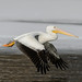 Pelican Flight_42787.jpg