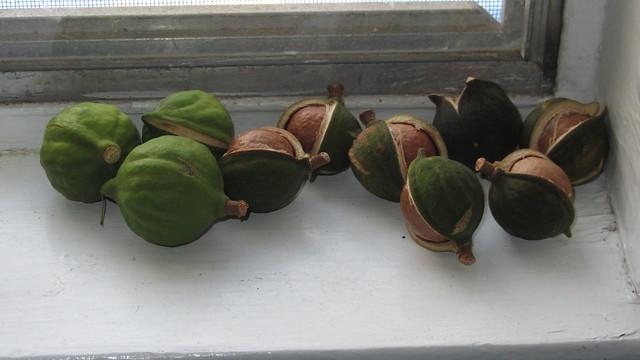 IMG_6619 macadamia nuts