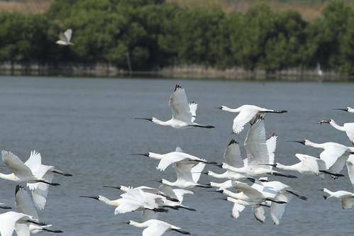 於茄萣溼地飛行的黑面琵鷺。(攝影:茄萣生態文化協會鄭和泰)