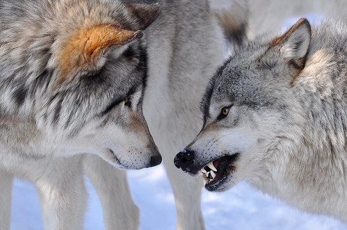 Grey Wolves by kingarfer