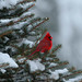 Winter Cardinal by a56jewell