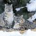 Snow Leopard Family Portrait by Eric Kilby