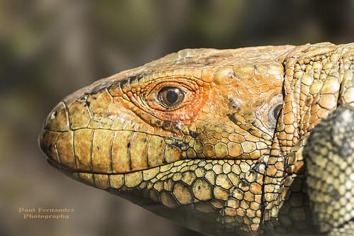 zoo florida miami lizard metrozoo miamizoo miamimetrozoo caymanlizard caimanlizard zoomiami watertegu lizardcayman lizardcaiman