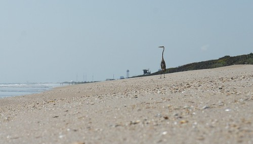Heron, Playalinda Beach