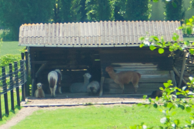 Lamas, Giverny