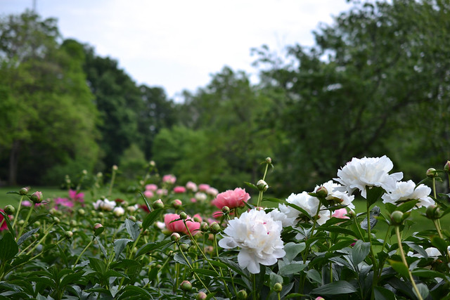 Herbaceous peonies in the Plant Family Collection. Photo by Morrigan McCarthy.