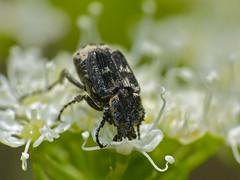 Flower Chafer (Valgus hemipterus)