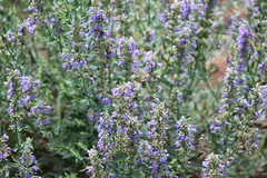shrub(0.0), breckland thyme(0.0), common sage(0.0), hyssopus(1.0), flower(1.0), english lavender(1.0), plant(1.0), lavender(1.0), lilac(1.0), lavender(1.0), wildflower(1.0), flora(1.0), meadow(1.0),