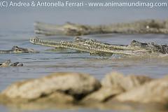 Gharial Gavialis gangeticus