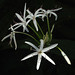 Small photo of Crinum asiaticum var. pedunculatum