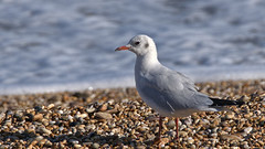 Black headed gull - Chroicocephalus ridibundus