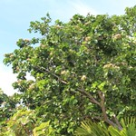 Intsia bijuga tree