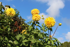 Yellow dahlias