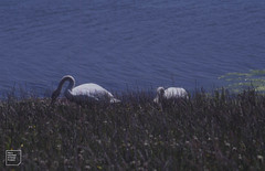 Swans have to come ashore to feed on grass and clover. First year of Lamby Lake, June 2002
