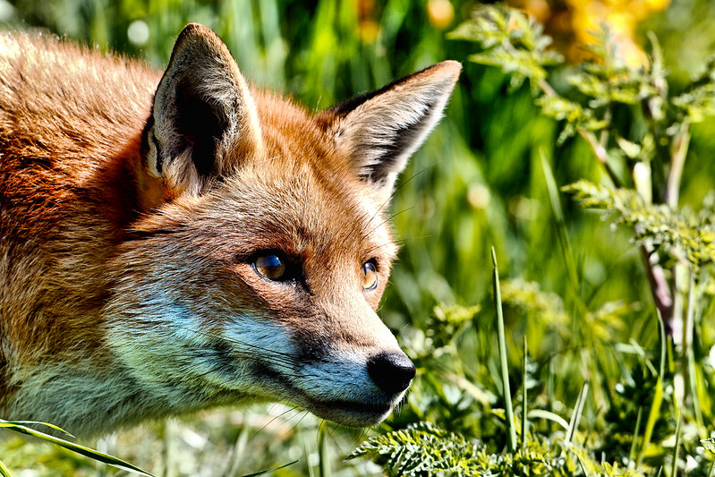 Fox - Explored :-)