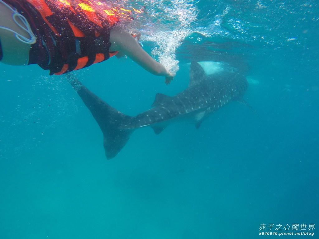 宿霧鯨鯊游泳-Oslob Whale Shark-064