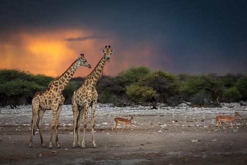 africa etosha safari etoshanationalpark travel namibia chudopwaterhole giraffe sunset thunderstorm canon springbok namutoni clouds oshikotoregion na