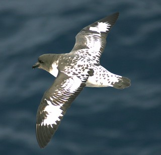 Cape Petrel  Daption capense