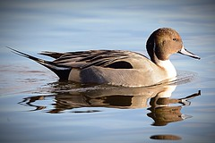 HolderPintail