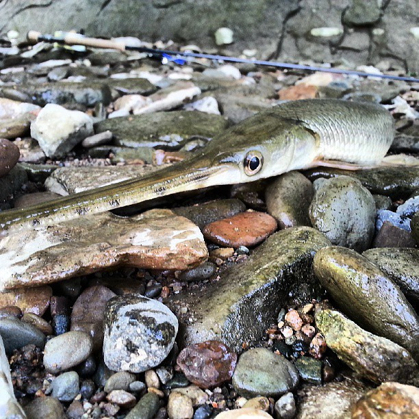 My buddy caught this gar on our fishing trip on sugar for Fish in indiana