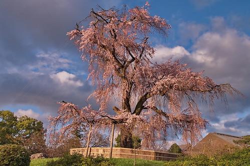 【写真】桜 : 円山公園