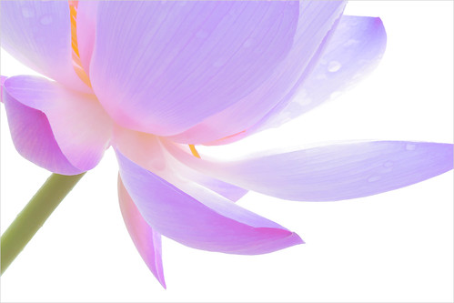 Lotus Flower - DD0A0005-1000-bz