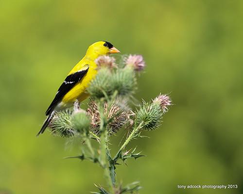 bird birds virginia unitedstates thistle goldfinch birding cano danville wildflower birdwatching americangoldfinch birdwatcher spinustristis canonef70300f456lisusm