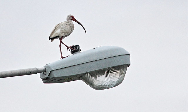 White Ibis on street light 20130721
