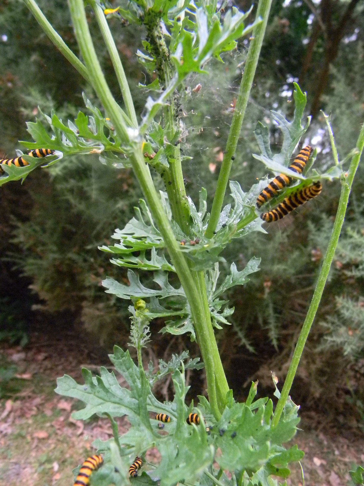 "Cinnabar moth caterpillars on ragwort They absorb the ragwort toxins. The yellow and black says ""don't eat"". (Wasn't going to anyway!) Mortimer to Aldermaston p.s. when they run out of ragwort, they eat each other!"